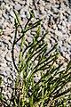 Veronica lycopodioides × V. subalpina in Christchurch Botanic Gardens 02.jpg