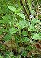 Veronica montana kz08.jpg
