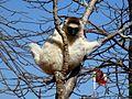 Verreaux's Sifaka Berenty Madagascar - panoramio (1).jpg