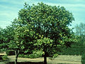 Viburnum lentago 1480548.jpg