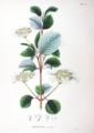 Viburnum plicatum SZ38.png