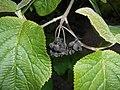 Viburnum veitchii 2016-05-09 9614.jpg