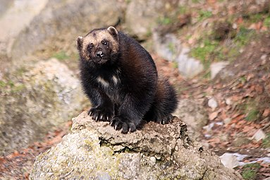 Vielfraß (Gulo gulo) Zoo Salzburg 2014 h.jpg