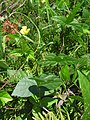Vigna angularis var. nipponensis 6.JPG