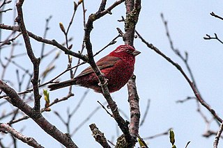 Vinaceous rosefinch species of finch in the Fringillidae family