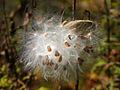 Vincetoxicum rossicum 5452352.jpg
