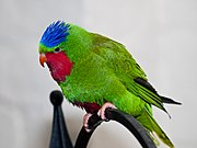 A green parrot with a red chin and throat, a violet belly, a blue forehead, and a small crest
