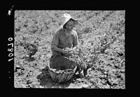 Vintage activities at Richon-le-Zion, Aug. 1939. Grape picker, an old Yemenite LOC matpc.19763.jpg