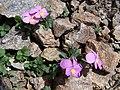 Viola comollia.jpg