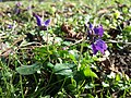 Viola odorata sl17.jpg