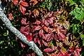 Virginia Creeper Sporting Autumn Colours (21413755943).jpg