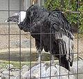 Vultur gryphus01.jpg