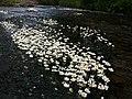 Włosienicznik pędzelkowaty (Ranunculus pseudofluitans) PL.jpg