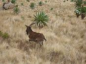 Walia ibex.jpg