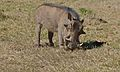Warthog (Phacochoerus africanus) (6600954123).jpg