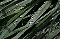 Waterdrops on grass ms.jpg