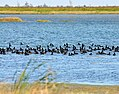 Waterfowl on flooded rice fields in Chambers County, Texas. These fields were enrolled in the national Migratory Bird Habitat Initiative (MBHI). NRCS photo by Beverly Moseley. (24489747113).jpg