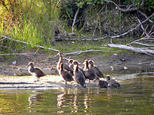 A group of brown ducks, some on the shore and some in the adjacent water