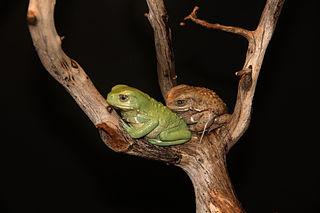 Waxy Monkey Treefrog