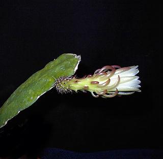 <i>Weberocereus</i> genus of plants