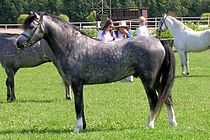 A standing dappled gray pony