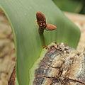 Welwitschia mirabilis-IMG 3426-1.jpg