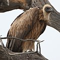 White-backed Vulture, Gyps africanus, at Kgalagadi Transfrontier (46112754172).jpg