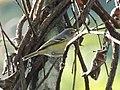 White-eyed vireo (16348789320).jpg