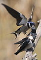 White-throated Swallow, Hirundo albigularis at Marievale Nature Reserve, Gauteng, South Africa. Sequence of two juveniles being fed on the fly by their parents. (15632322502).jpg
