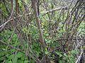 White Honey shrub (3694907326).jpg