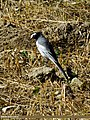 White Wagtail (Motacilla alba) (15702442857).jpg