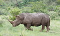 White rhinoceros or square-lipped rhinoceros, Ceratotherium simum. Note that in some of these photos there are a female with a calf, and a male that seems to have been challenging the calf. (17132350877).jpg