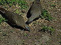 White winged doves eating bird seeds 201705052.jpg