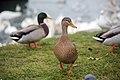 Wien Donau 2014-12-03 075 Stockenten Anas platyrhynchos.jpg