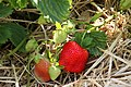 Wiesen im Burgenland - Erdbeeren.jpg
