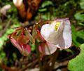 Wild Begonia sp. - Flickr - gailhampshire.jpg