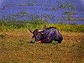 Wild Buffalo Sri lanka.jpg