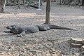 Wild Komodo dragon - Komodo island (17123830311).jpg