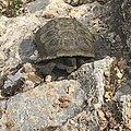 Wild desert tortoise at Red Rock National Conservation Area.jpg