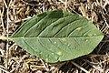 Wilsoniana sp. on Red-root Amaranth - Amaranthus retroflexus (29862483237).jpg