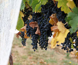 Wine grapes06