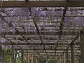 Wisteria of Imperial Admiration.jpg