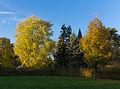 Witte esdoorn (Acer saccharinum). Locatie, Hortus (Haren, Groningen) 02.JPG