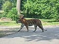Woburn Safari Park Tiger Enclosure - geograph.org.uk - 86193.jpg