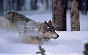 A reintroduced gray wolf in Yellowstone National Park