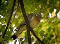 Wood pigeon (23892682524).jpg