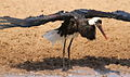 Woolly-necked stork, Bishop stork or White-necked stork, Ciconia episcopus, at uMkhuze Game Reserve, kwaZulu-Natal, South Africa - having a bath (15485189341).jpg
