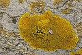 Xanthoria calcicola 62247693.jpg