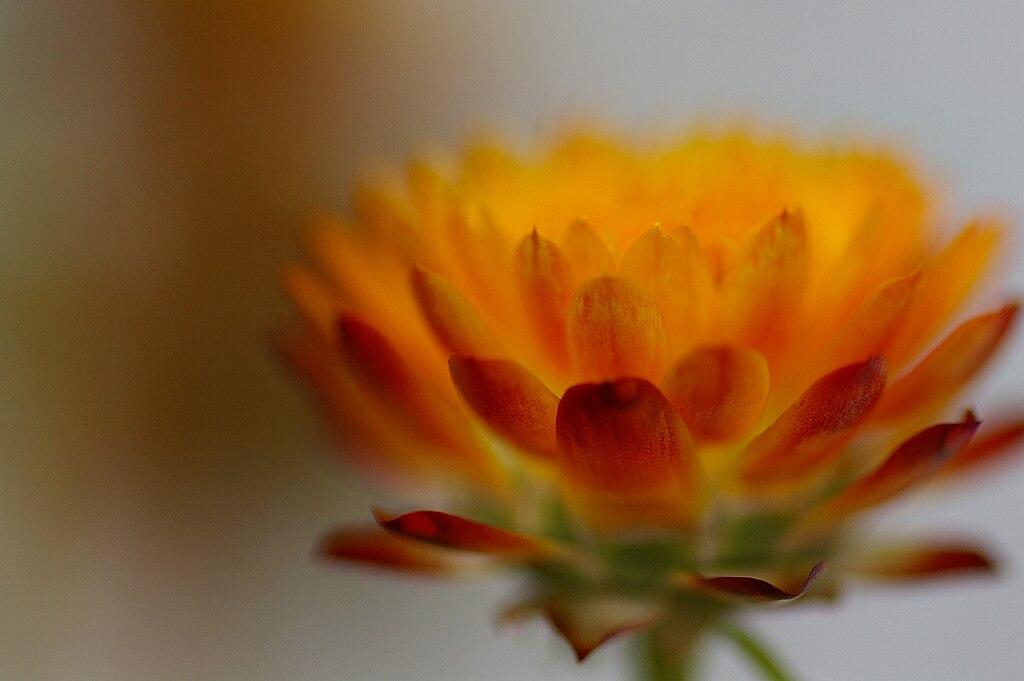 Xerochrysum bracteaum closeup.jpg