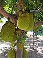 Yacas fruta tipica del area una delicia - panoramio.jpg
